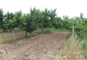Сад персиковый